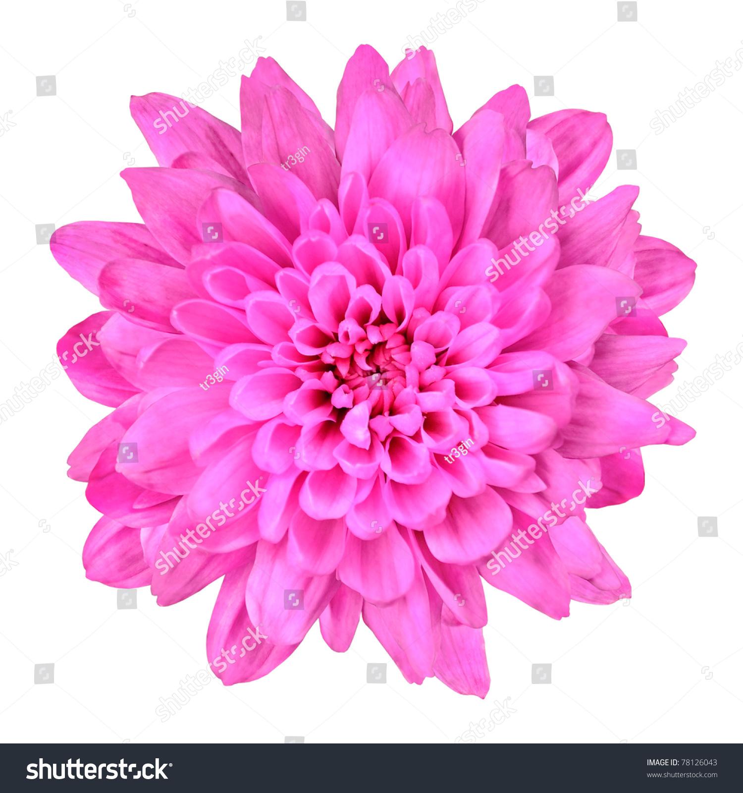 Pink chrysanthemum flower one pink chrysanthemum flower isolated over fotka mightylinksfo