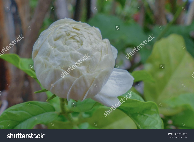 Arabian Jasmine Flower On Tree Tropical Stock Photo Edit Now