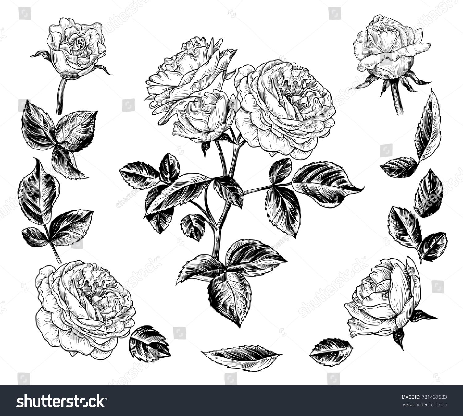 sketch rose bush isolated drawing rose stock vector royalty free