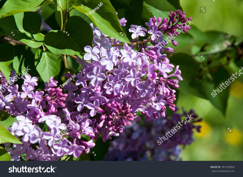 Beautiful Fresh Purple Violet Flowers Close Stock Photo 781520056