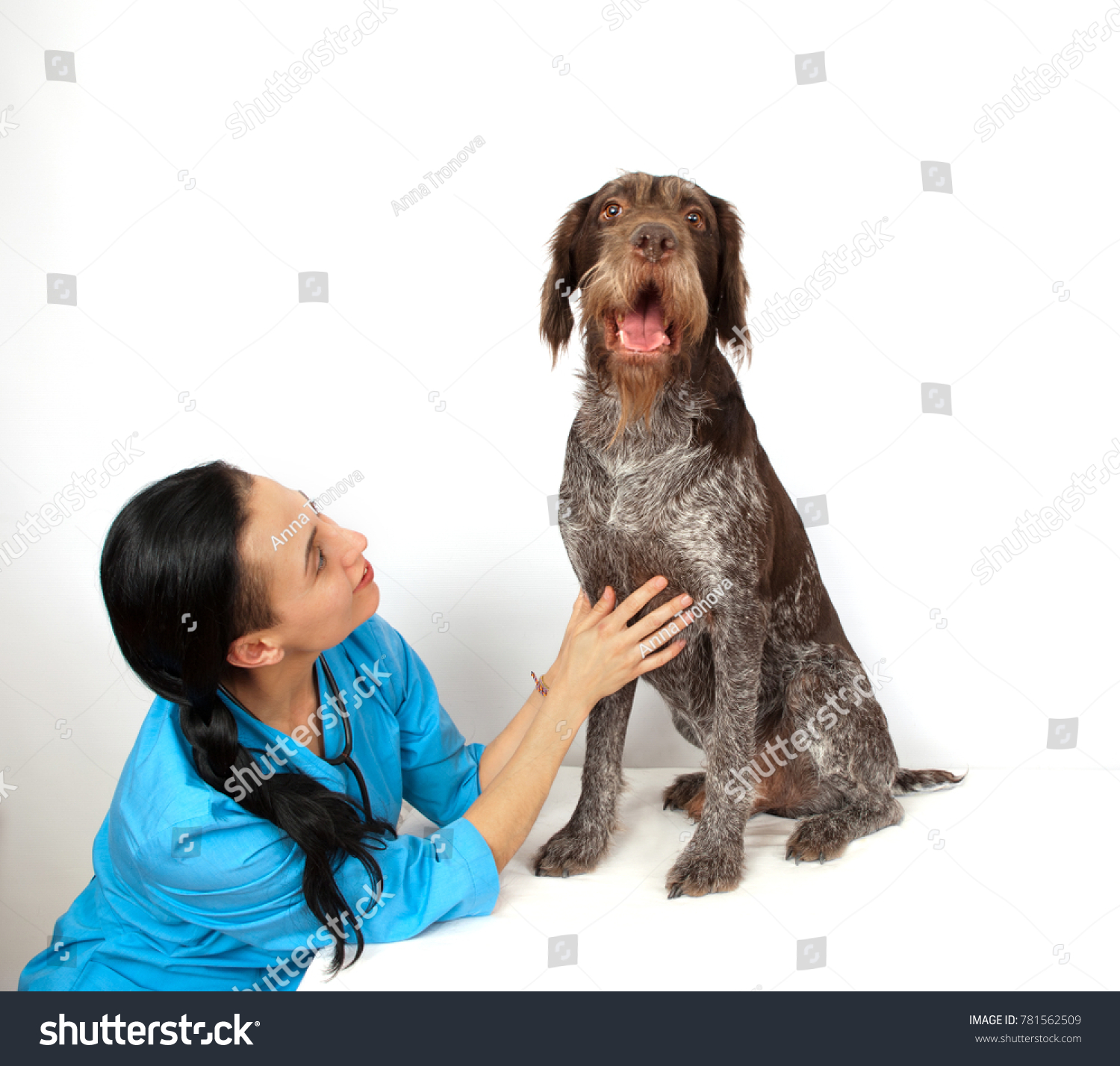 Dog Breed German Wirehaired Pointer Examination Stock Photo ...