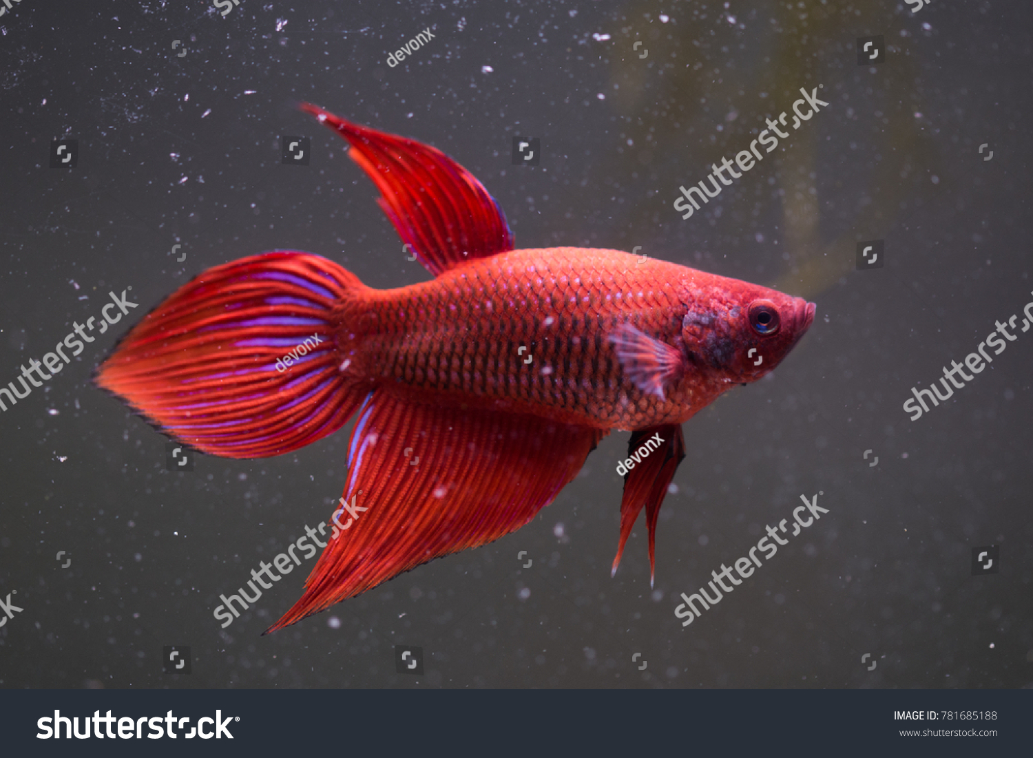 Red Fish Aquarium Stock Photo (Royalty Free) 781685188 - Shutterstock