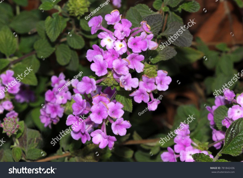Lantana Montevidensis Trailing Lantana Purple Lantana Trailing