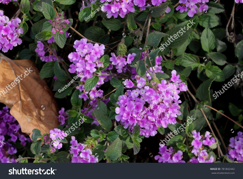 Lantana Montevidensis Trailing Lantana Purple Lantana Stock Photo