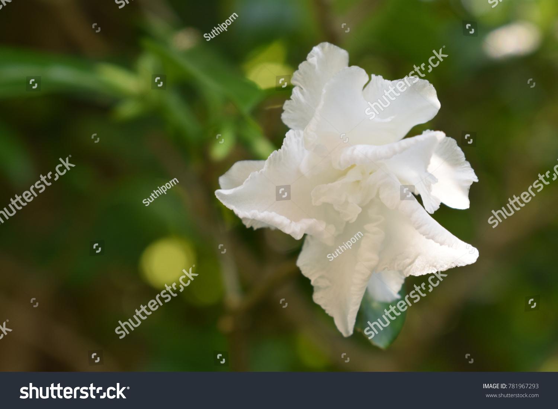 Ervatamia Gardenia Name Pud Flower Thailand Stock Photo Edit Now