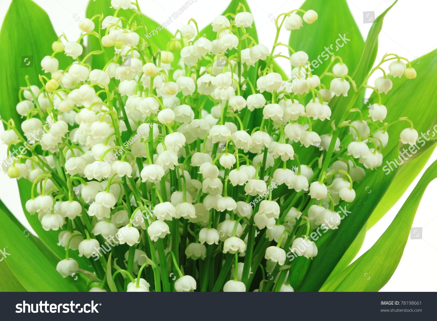 Lily valley flowers convallaria majalis flower stock photo royalty lily of the valley flowers convallaria majalis flower bunch against white background izmirmasajfo Gallery