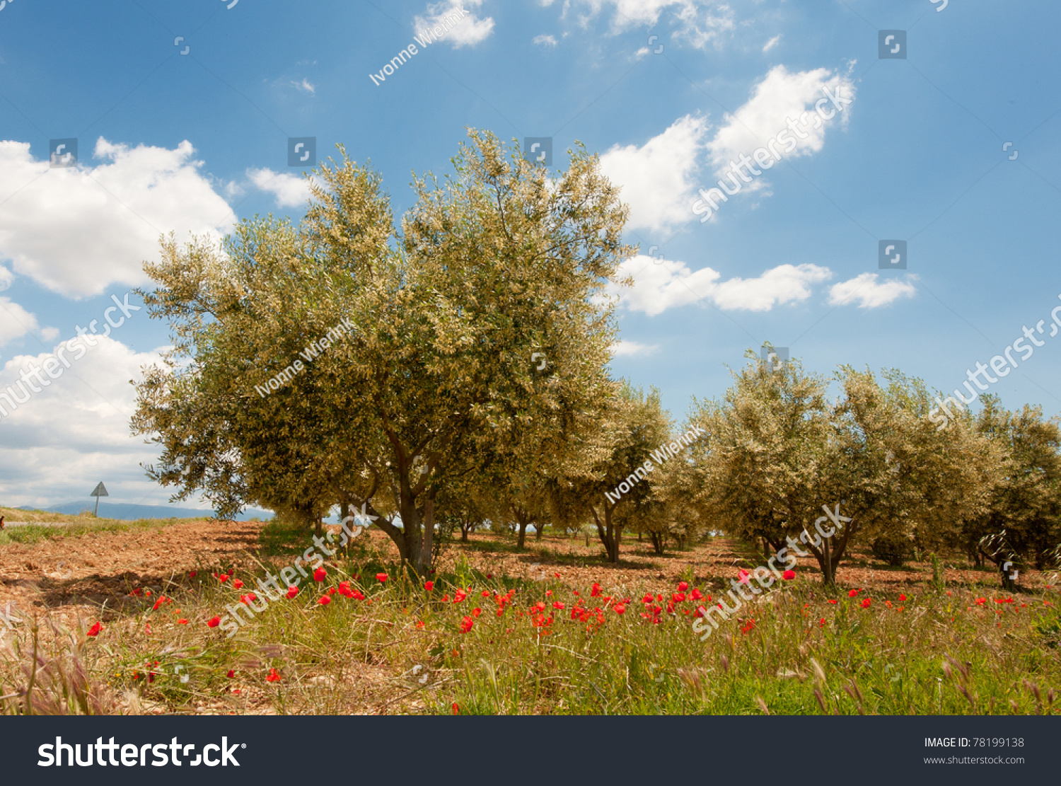 Olive trees garden and colorful spring meadow in area of Bari ...