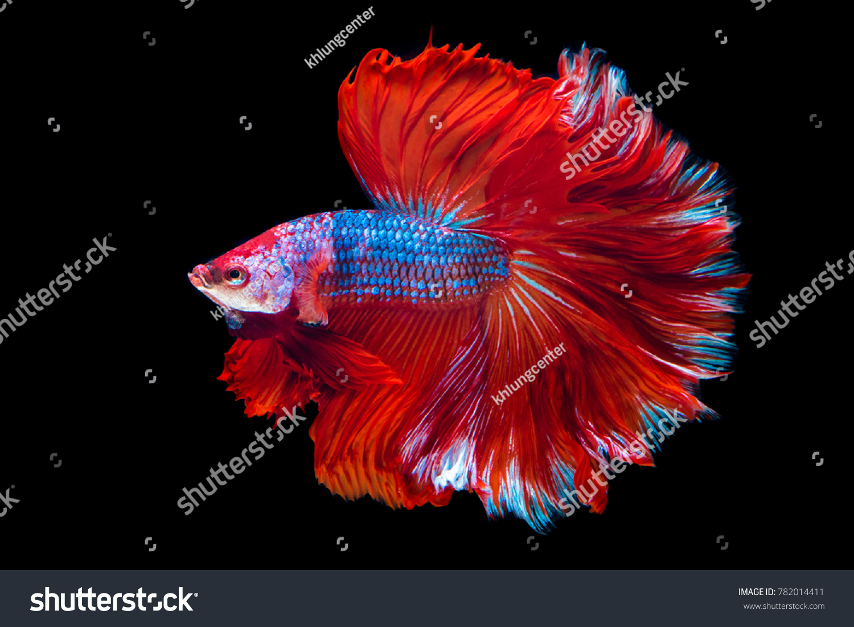 Siamese Fighting Fish Betta Splenden Aquarium Stock Photo (Royalty ...