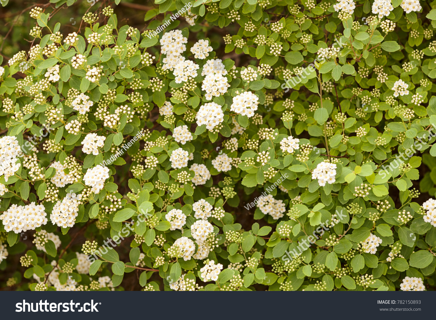 Bush Small White Flowers On Branches Stock Photo Edit Now
