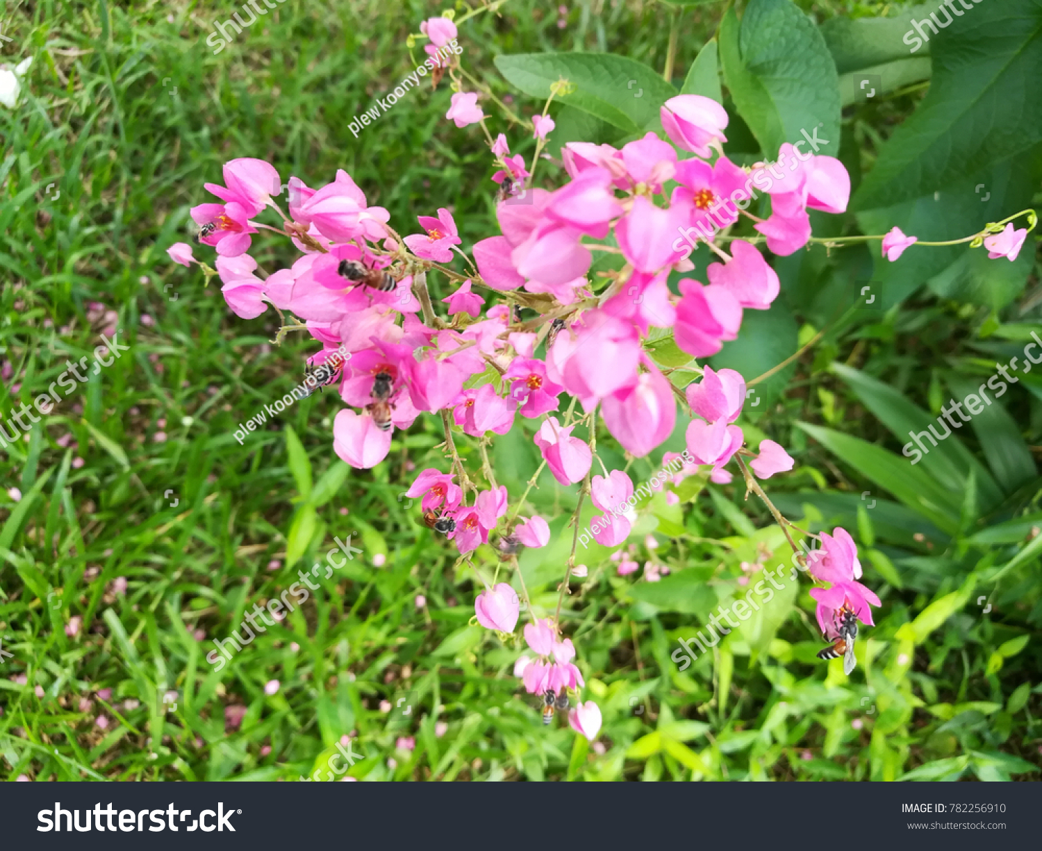 Pink Coral Vine Flowers Bees Flying Stock Photo Edit Now 782256910