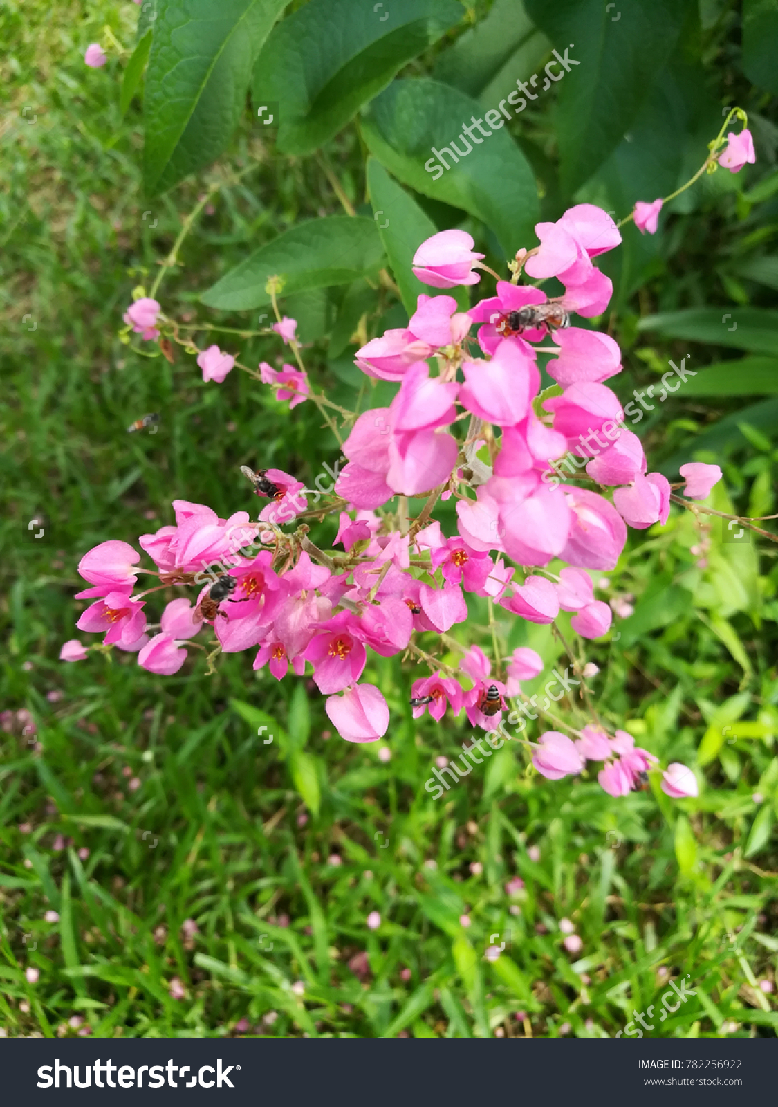 Pink Coral Vine Flowers Bees Flying Stock Photo Edit Now 782256922