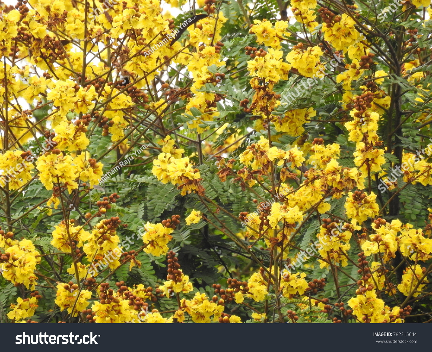Ornamental Copperpod Flowers Yellow Flamboyant It Also Known As