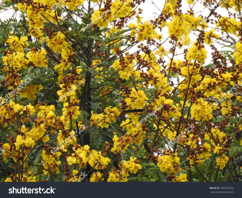 Ornamental Copperpod Flowers Yellowflamboyant Known Many Stock Photo
