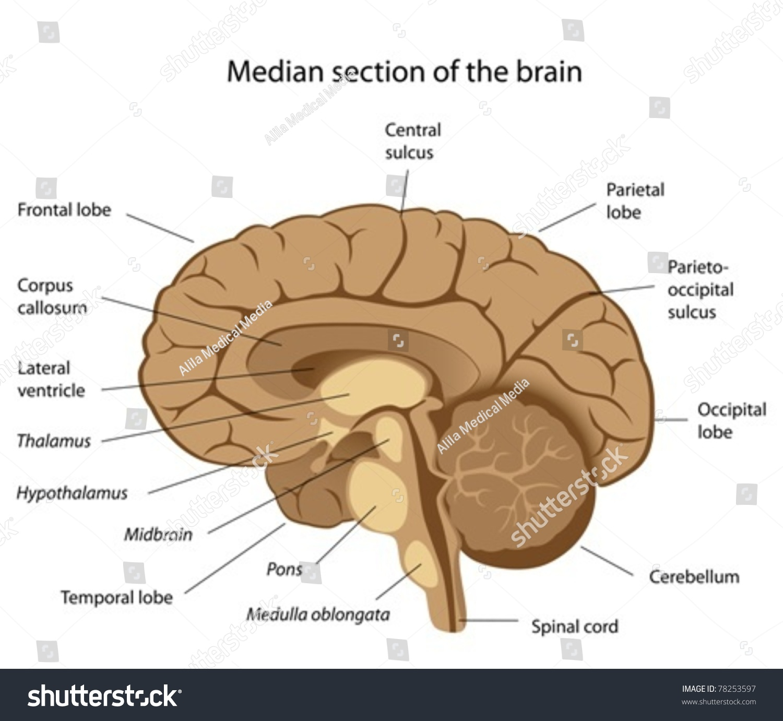 Human Brain Anatomy Stock Vector Royalty Free 78253597 Shutterstock