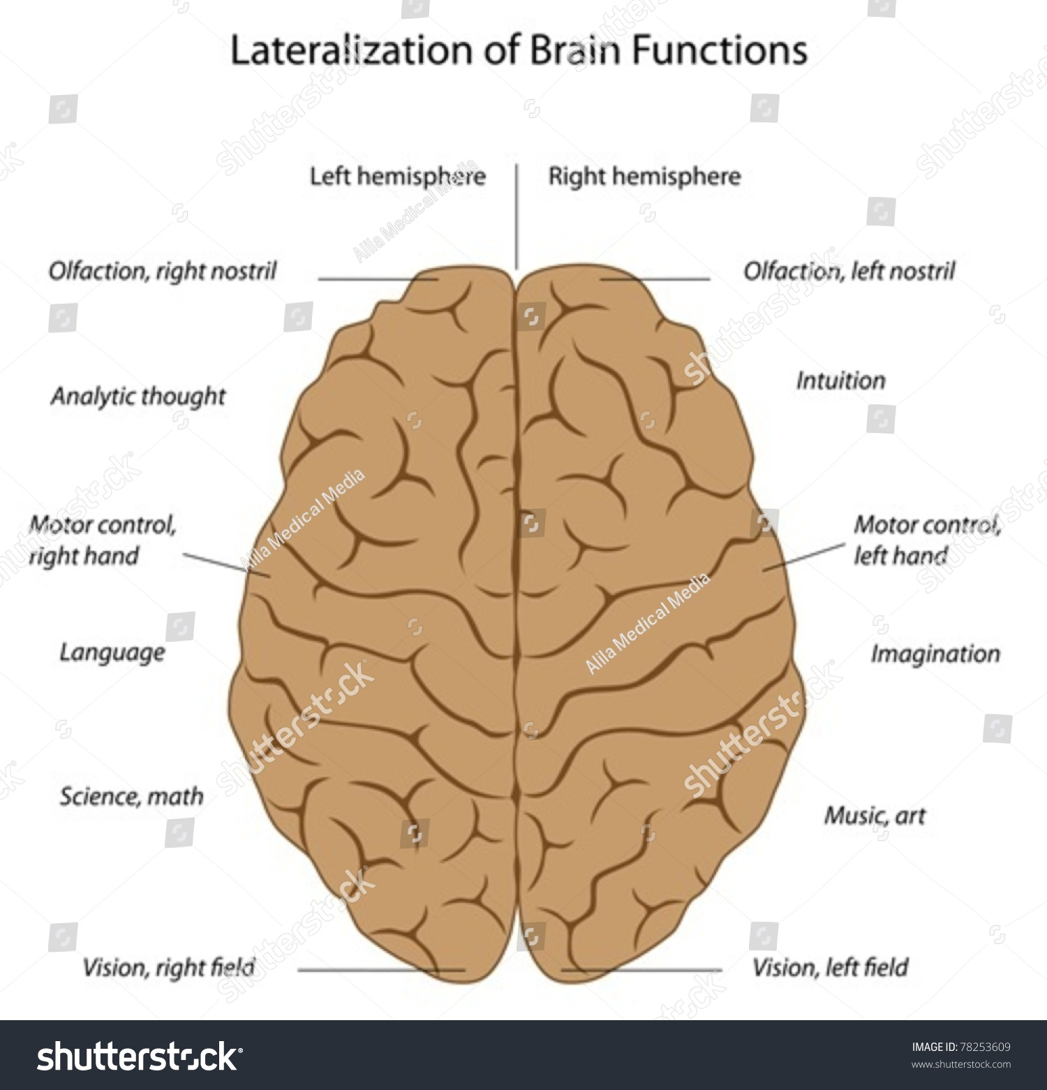 Functions Left Right Hemispheres Brain Stock Vector 78253609 ...