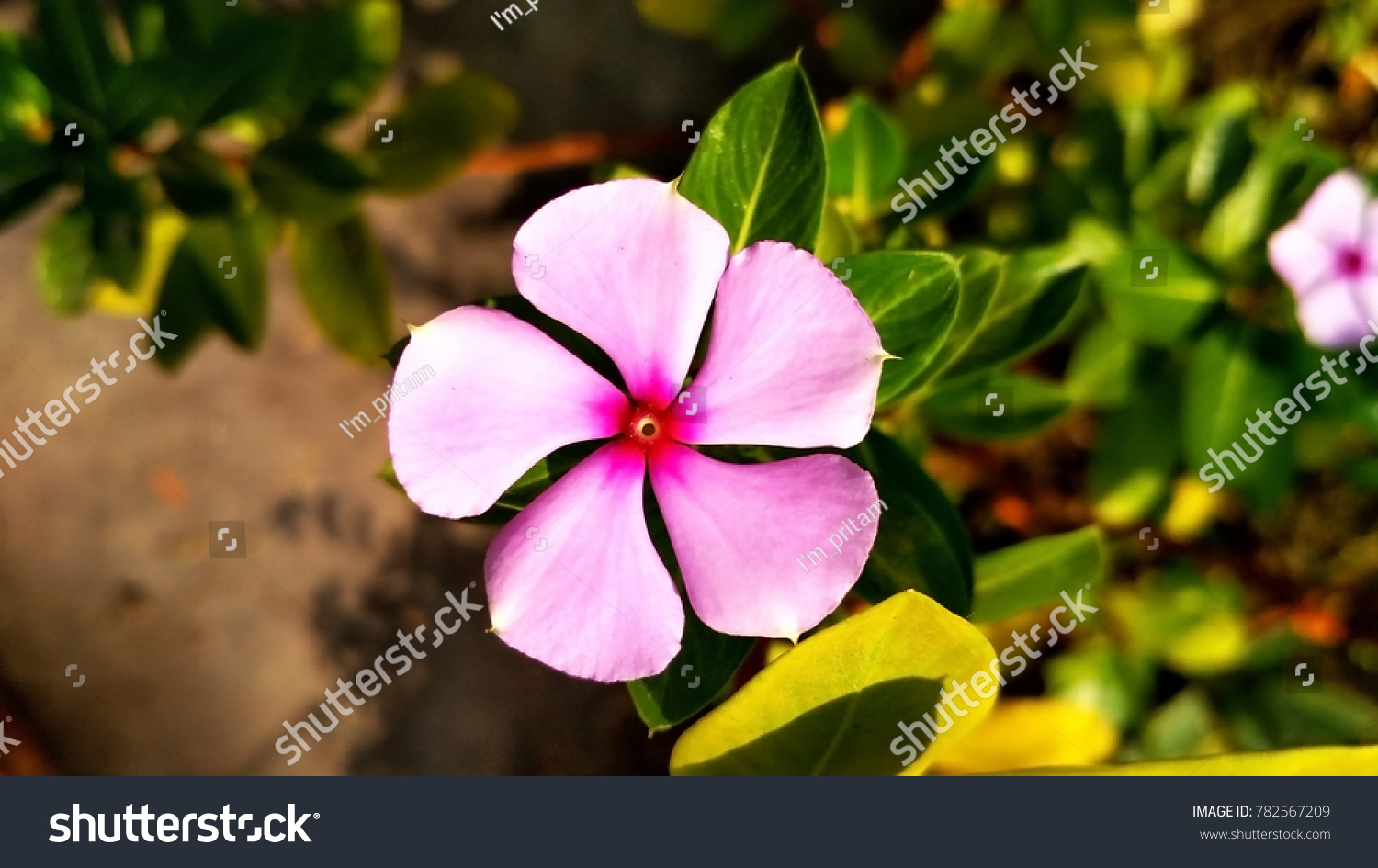 Indian wild crape jasmine flower tabernaemontana stock photo edit a indian wild crape jasmine flower or tabernaemontana divaricata izmirmasajfo