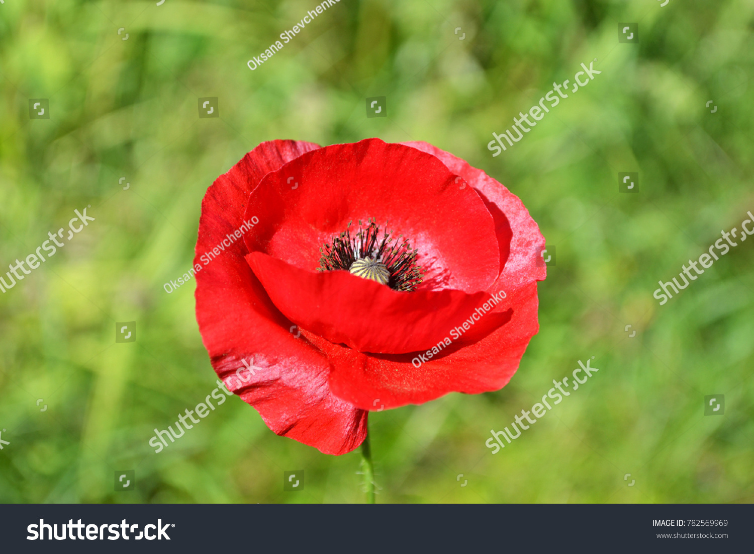 Red Poppy Flower Growing In A Garden Closeup Ez Canvas