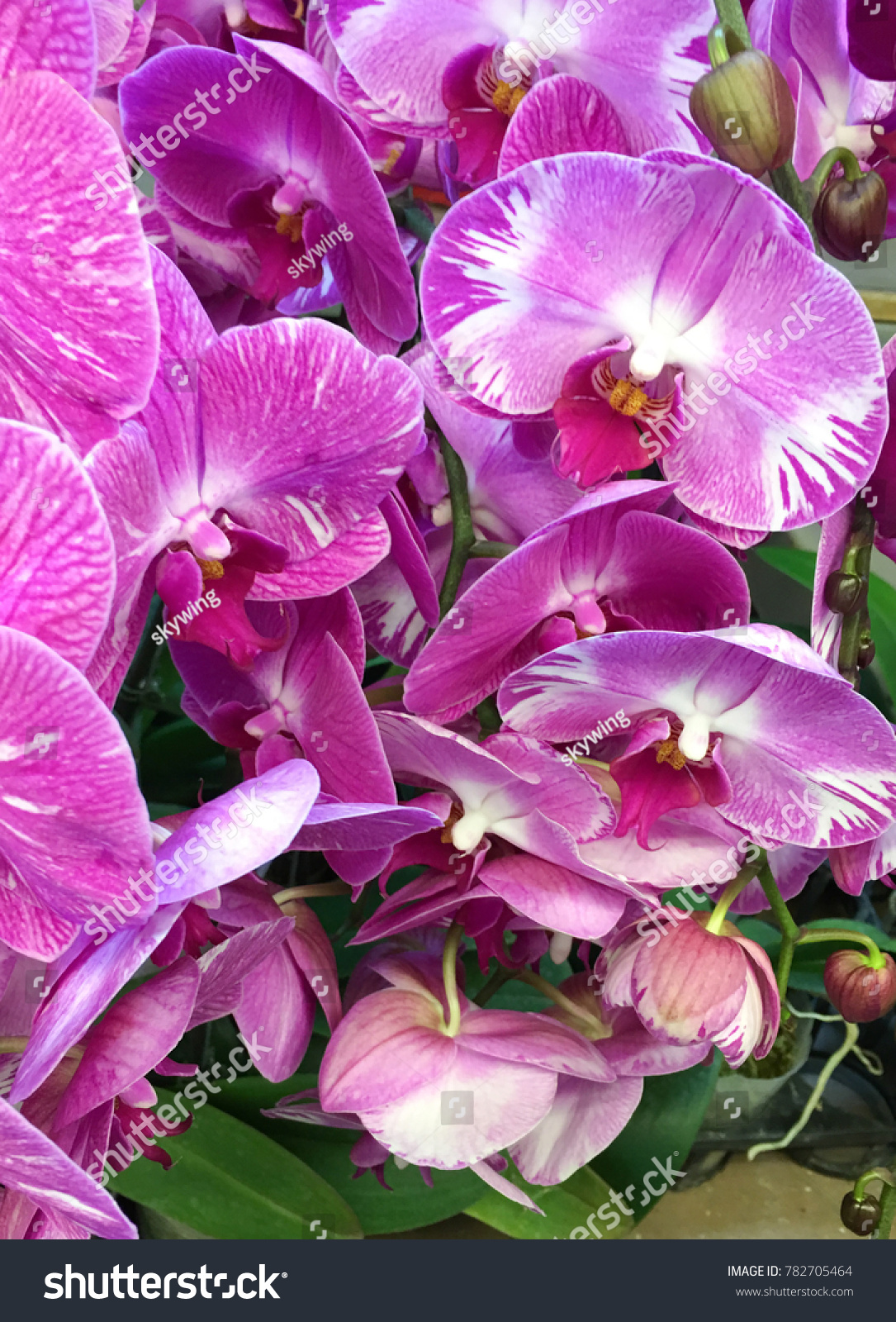 Spotted Pink Orchids Flower Blooming Colorful Flower Blossom