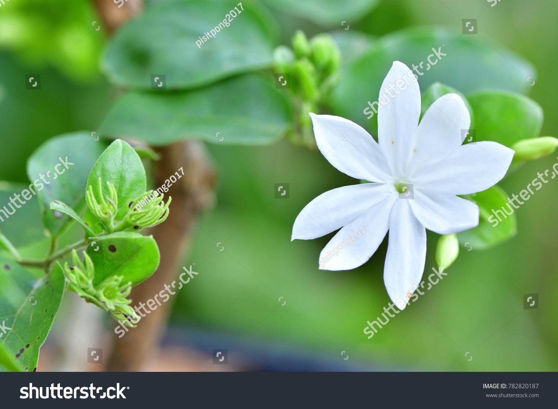 Jasminum Multiflorum Star Jasmine Angelhair Jasmine Stock Photo