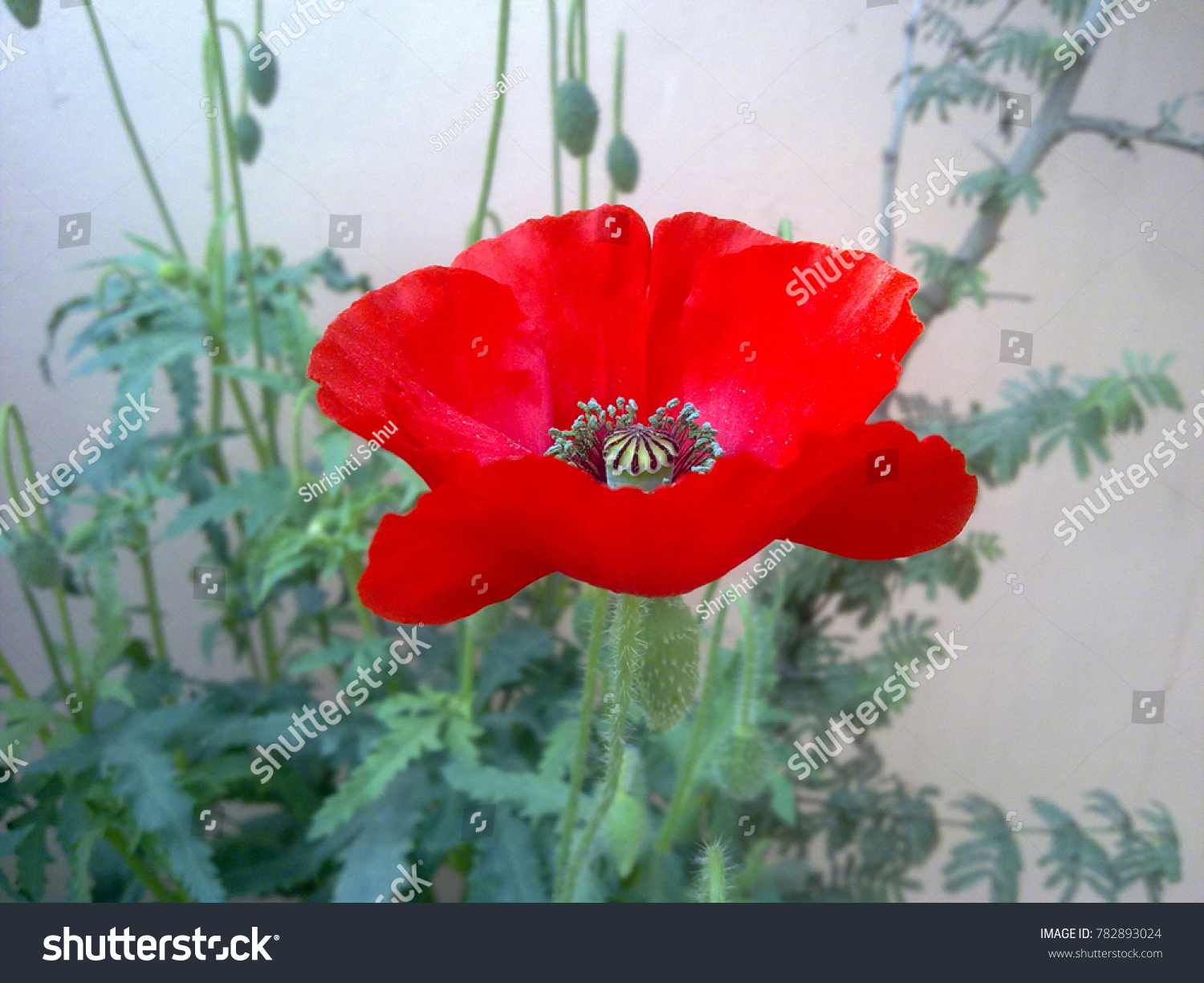 Attractive Red Color Poppy Flower Glorious Stock Photo (Royalty Free ...