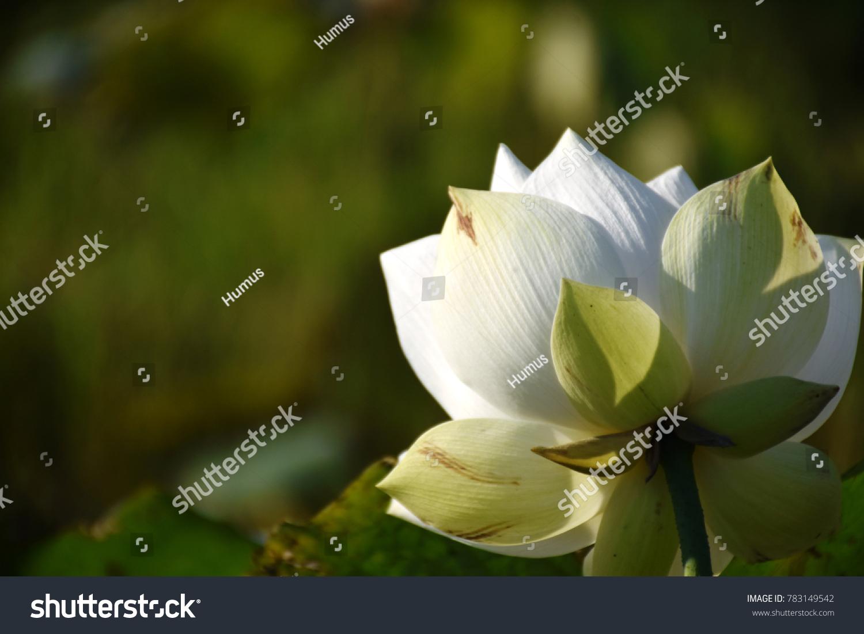 White lotus flower scientific name nelumbo stock photo edit now white lotus flower scientific name nelumbo nucifera geartn izmirmasajfo