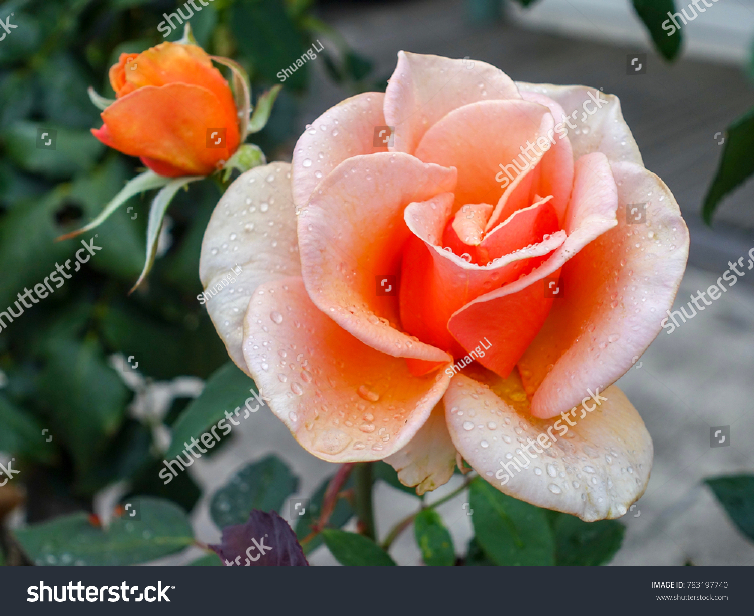 Close Wet Orange Color Rose Fresh Stock Photo & Image (Royalty-Free ...