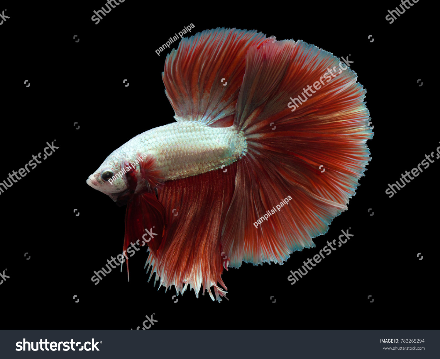 Moving moment of Red and white half moon siamese fighting fish ...