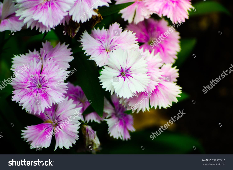 Beautiful Whitepurple Dianthus Barbatus Sweet William Stock Photo