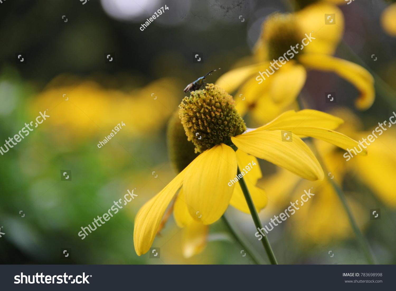 Yellow Cone Flower Closeup Ez Canvas