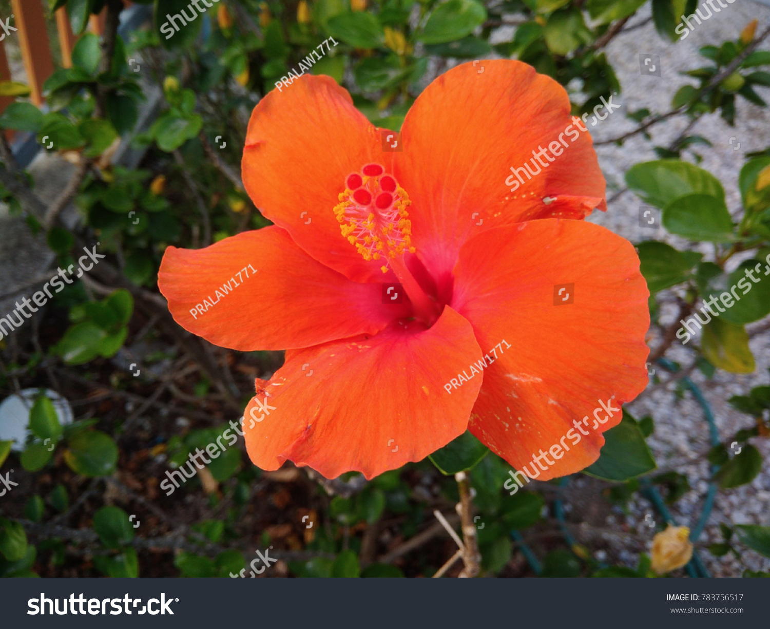 This flower name chaba flower thai stock photo edit now 783756517 this flower name is chaba flower in thai language and shoe flower or izmirmasajfo