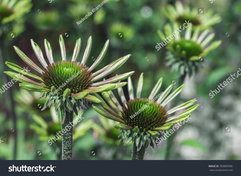 Echinacea green envy flowers beautiful unusual stock photo edit now echinacea or green envy flowers beautiful unusual and exotic flowers the daisy shaped blooms izmirmasajfo