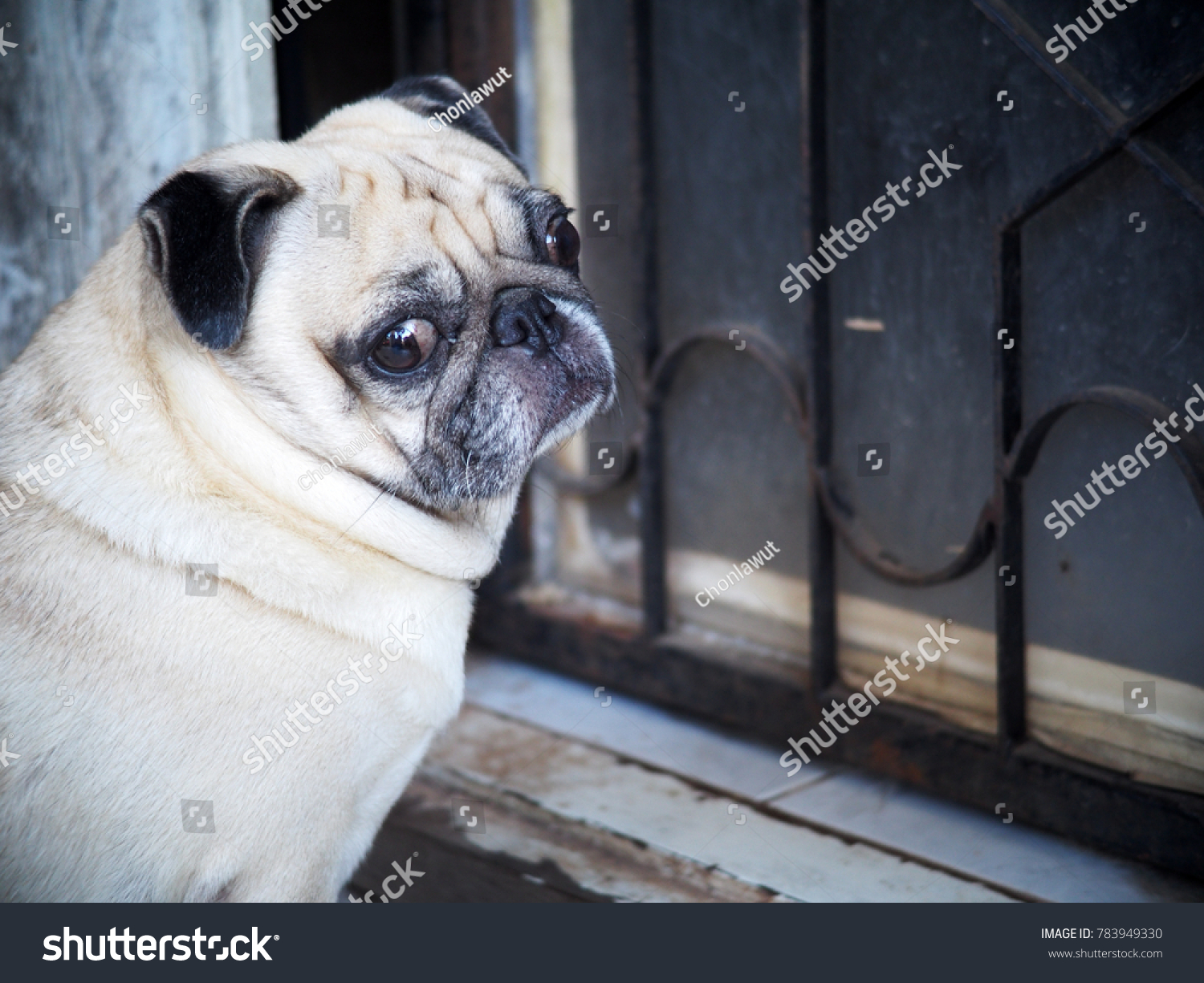 Portraits photo of a lovely white fat cute pug dog sitting at house door making sad