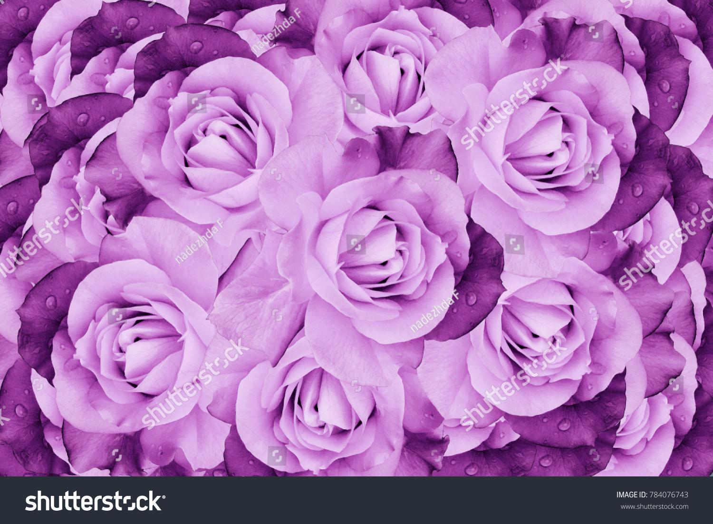 Floral Pink Violet Beautiful Background Flower Composition Of Roses