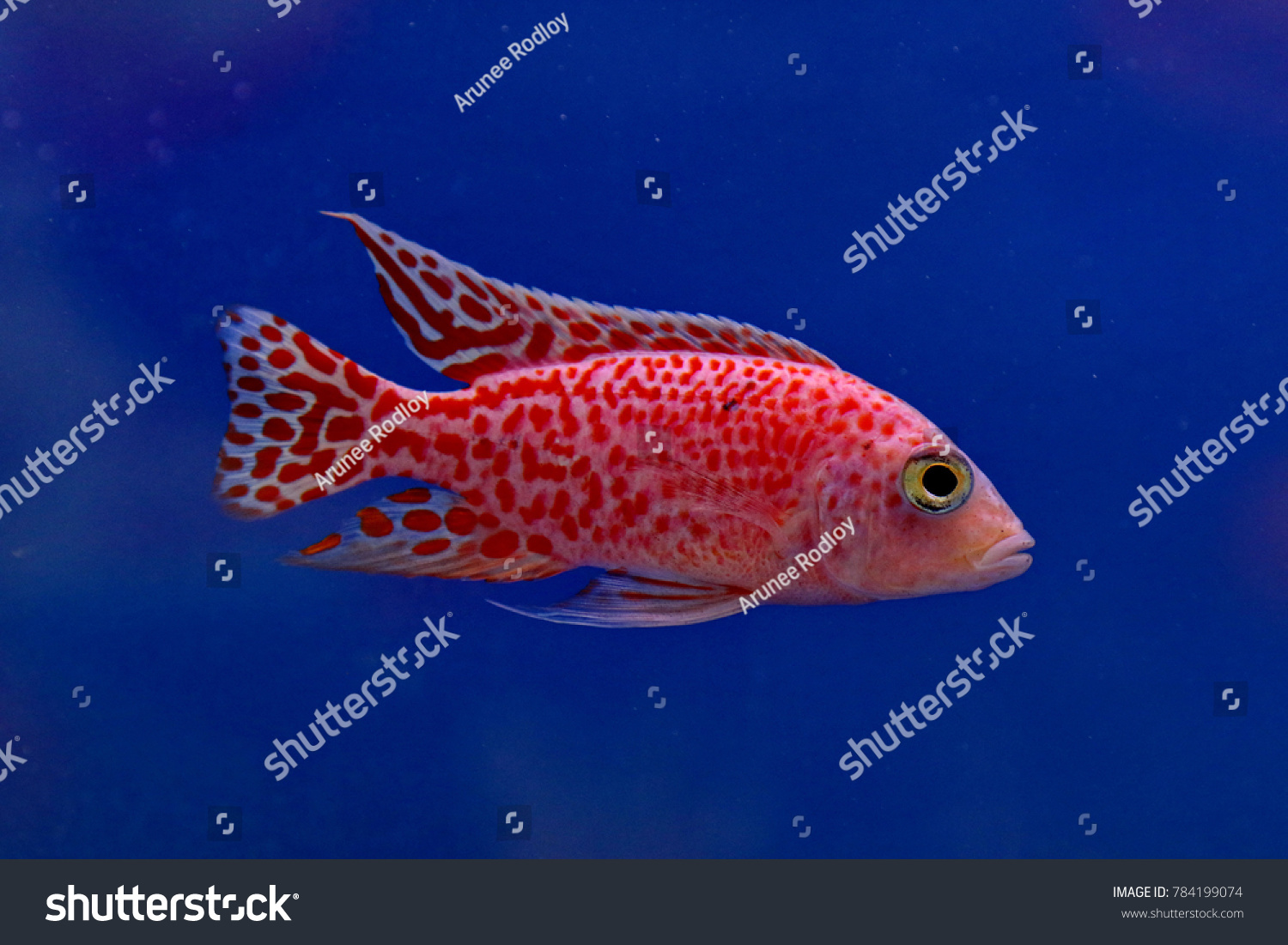 Colorful Ornamental Fish Lake Malawi Cichlids Stock Photo (Royalty ...