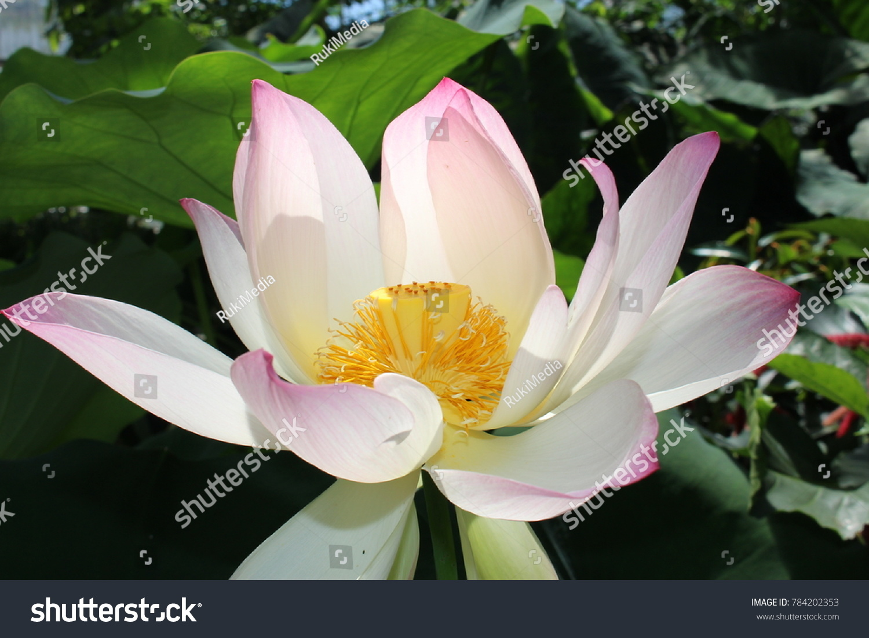 Indian Lotus Flower Or Sacred Lotus Stock Photo Edit Now 784202353