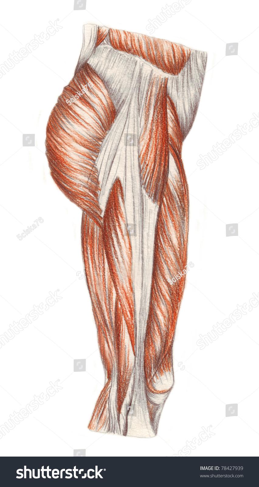 Human Anatomy Muscles Leg Stock Illustration Royalty Free Stock