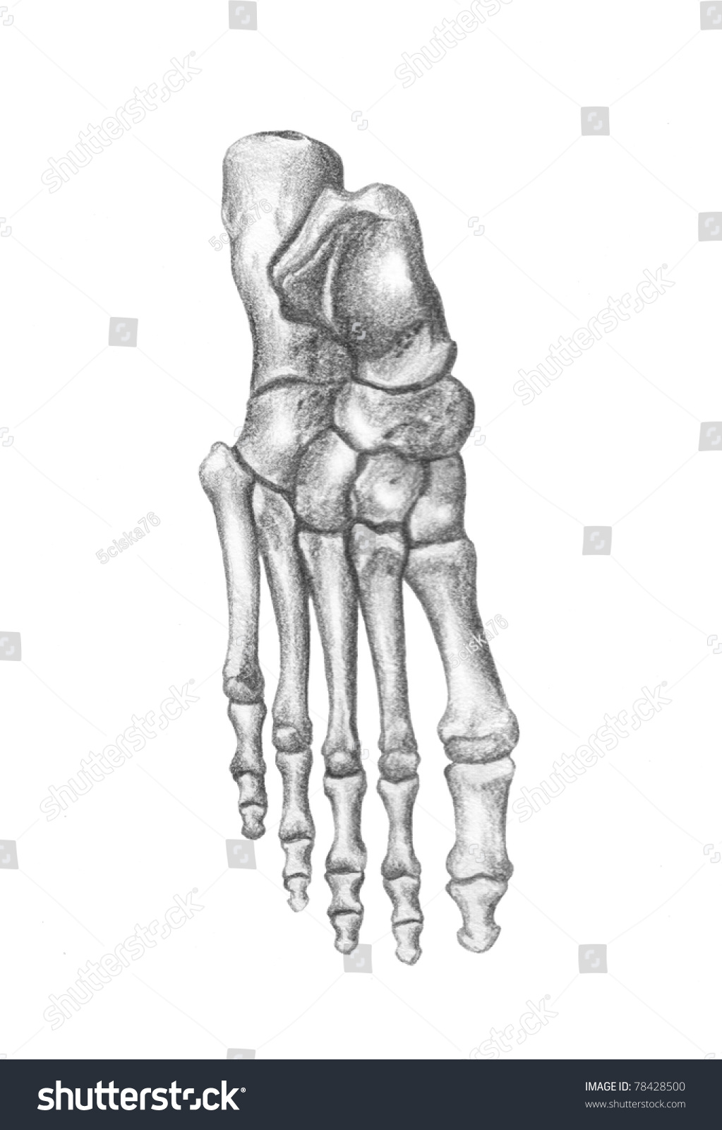 Human Anatomy Bones Foot Stock Illustration 78428500 - Shutterstock