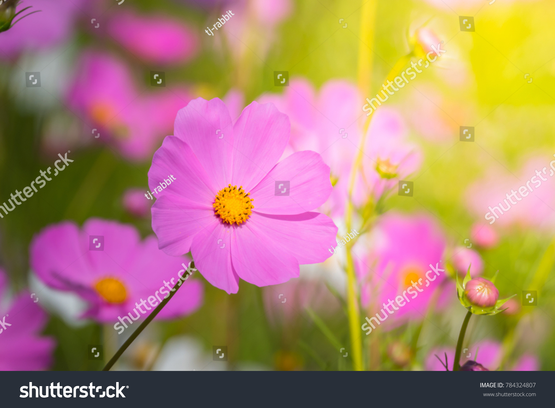 Beautiful cosmos flowers in garden ez canvas id 784324807 izmirmasajfo