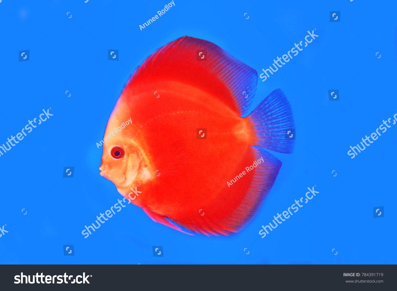 discus fish in the aquarium glass | EZ Canvas