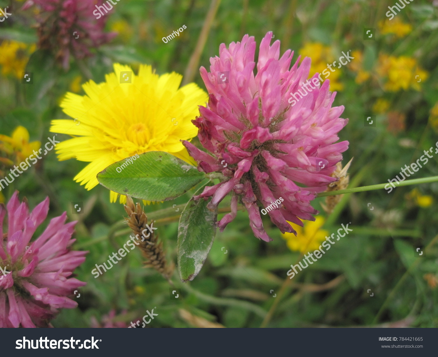 Yellow clover with purple flowers plants topsimages macro yellow purple flowers stock photo edit now jpg 1500x1225 yellow clover with purple flowers plants mightylinksfo