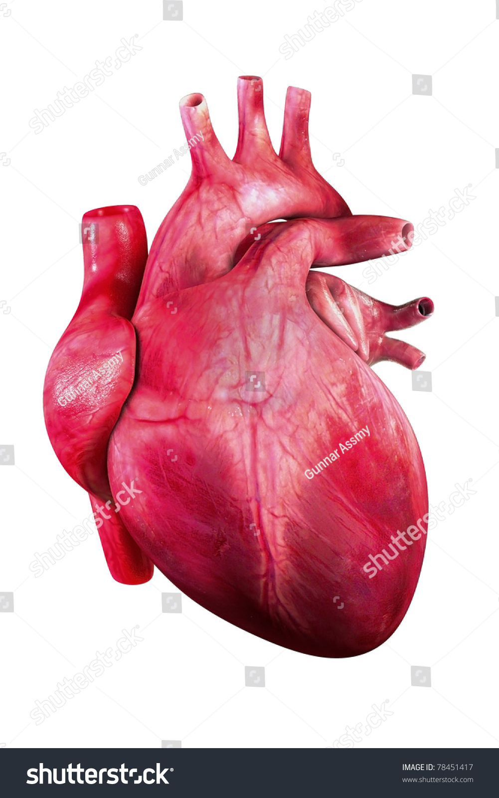 a brief look at the human heart The heart has a left ventricle and a right ventricle their job is to squirt out the blood to the body and lungs running down the middle of the heart is a thick wall of muscle called the septum (say: sep-tum.