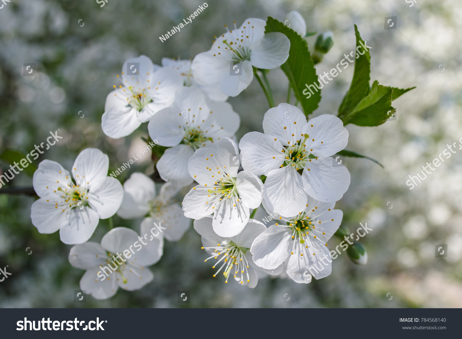 Beautiful Cherry Flowers In May Ez Canvas