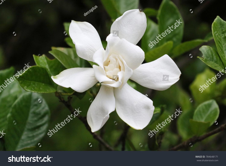 White Gardenia Flower Stock Photo Royalty Free 784648171