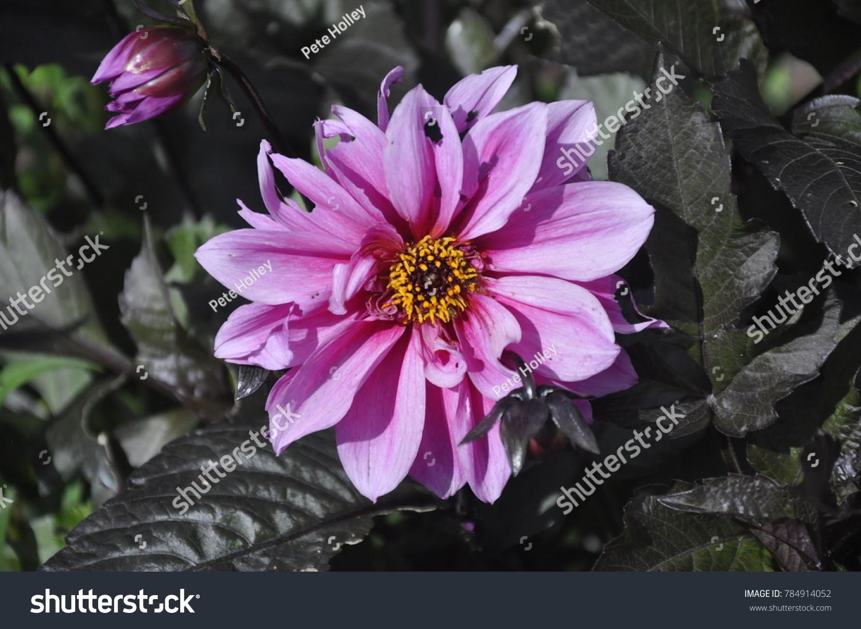 Tatty Purple Flower Yellow Center Against Stock Photo Edit Now