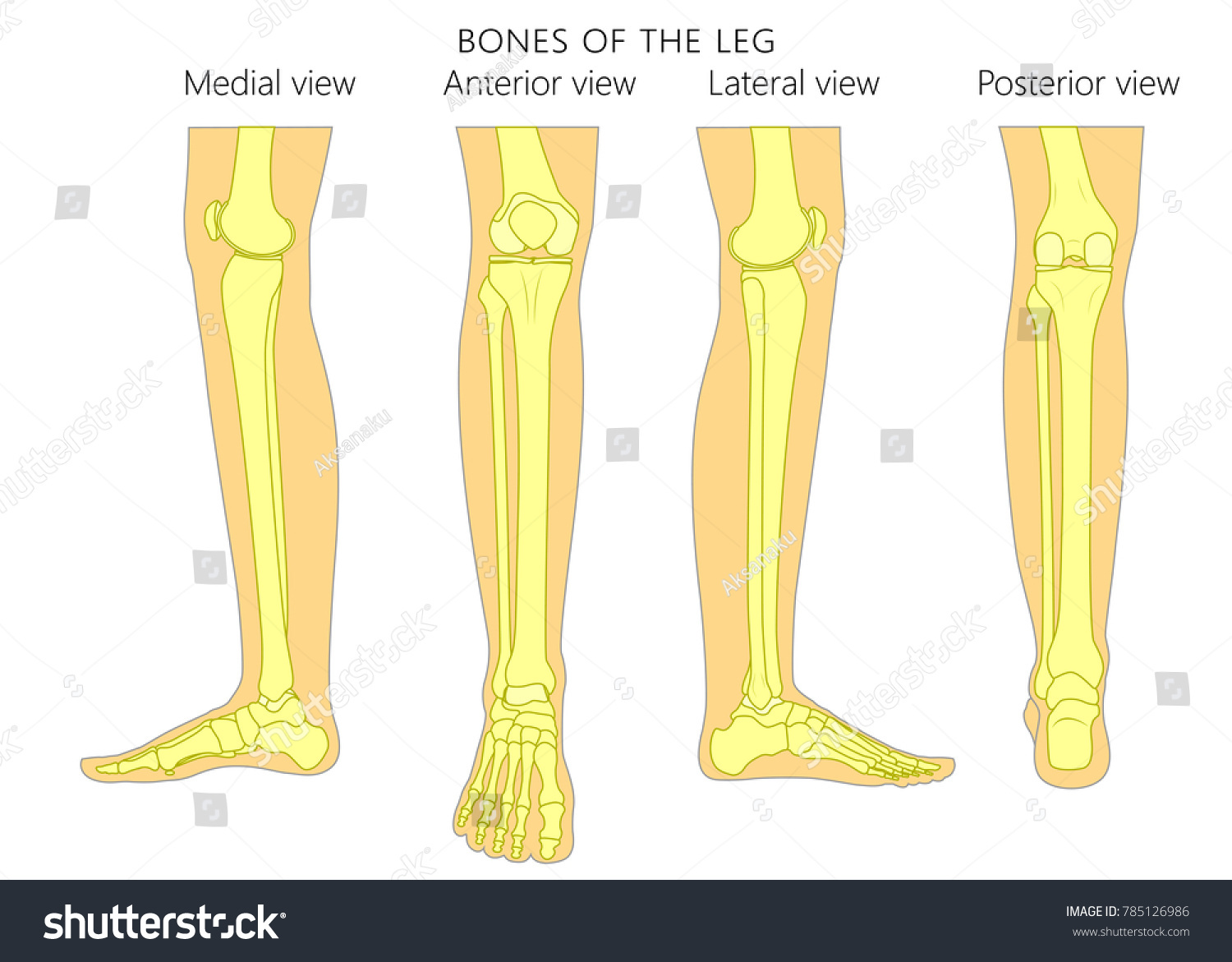 Bones Human Leg Different Views Posterior Stock Vector Royalty Free