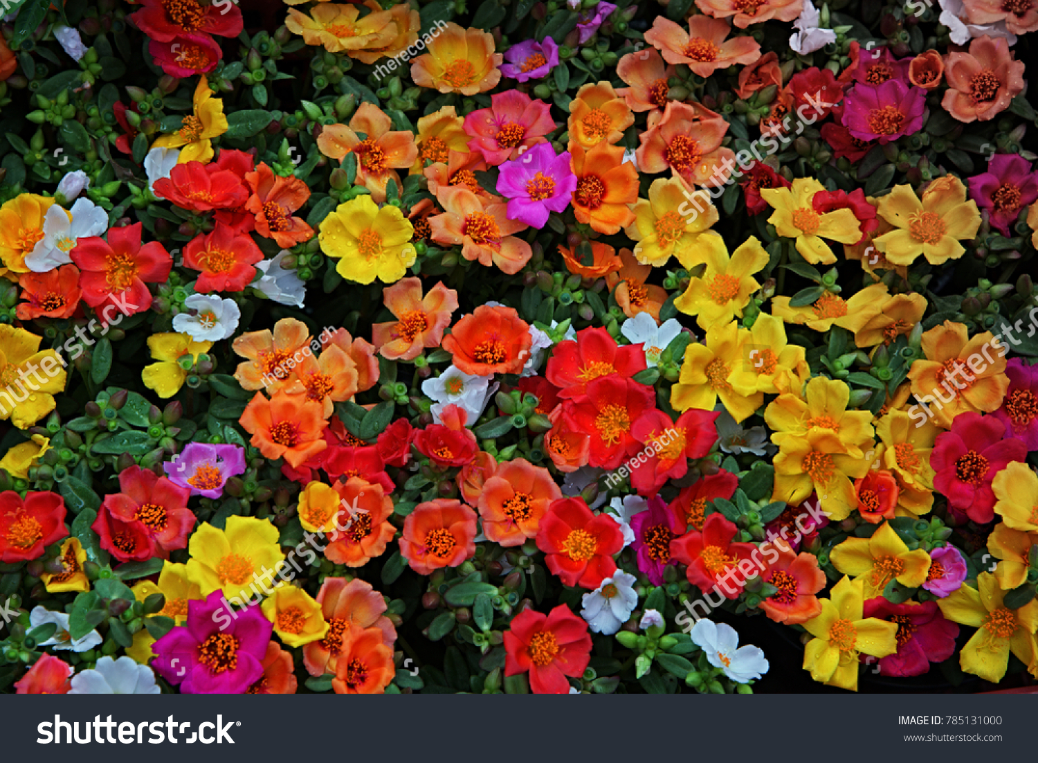 Many Bright Multi Colored Flowers Stock Photo (Royalty Free ...