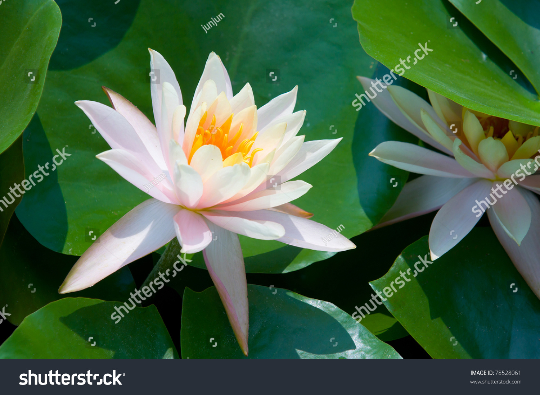 Pink Lotus Flower Blooming Summer National Stock Photo Edit Now
