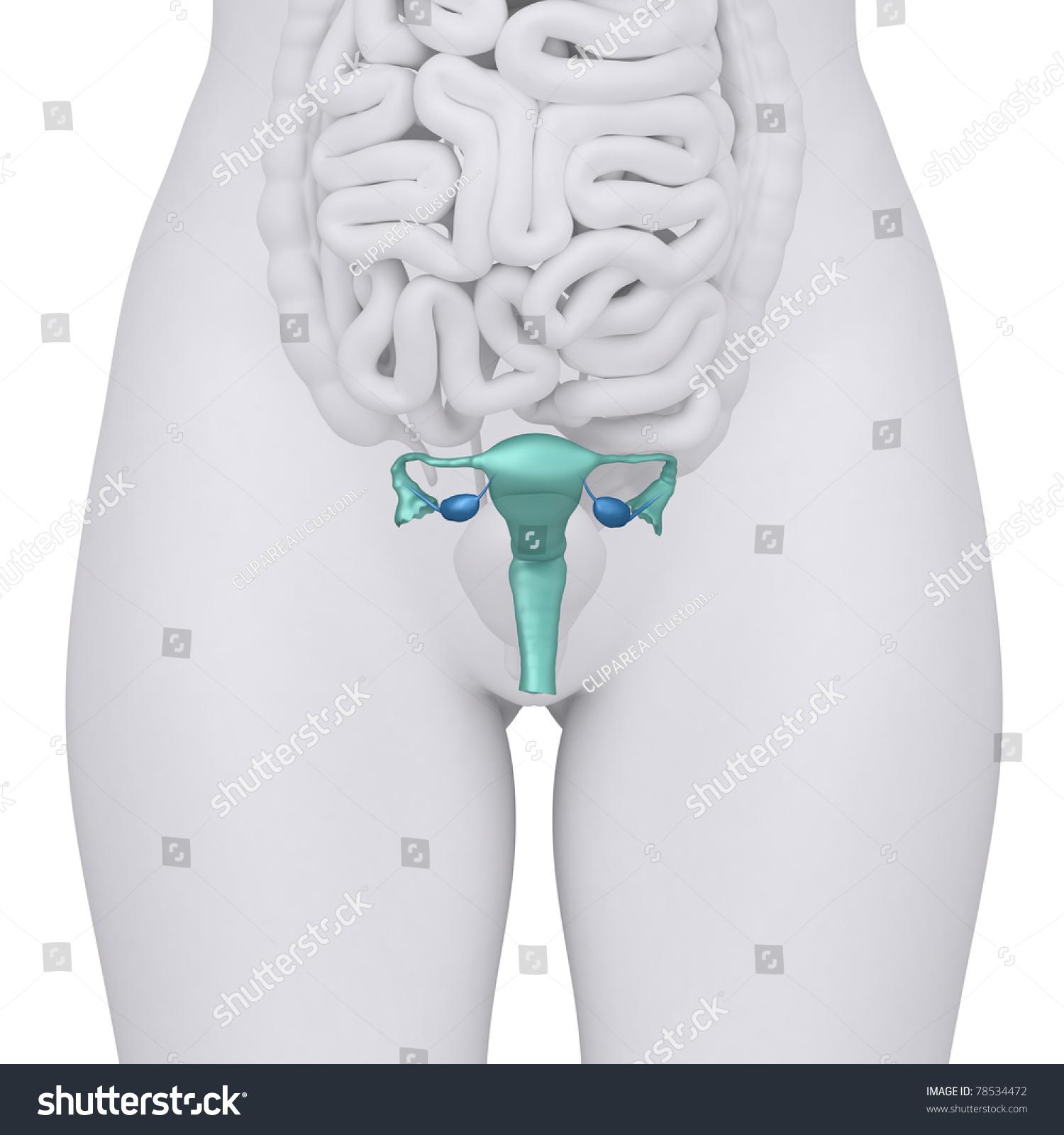 Anatomy Uterus Ovary Stock Illustration 78534472 Shutterstock