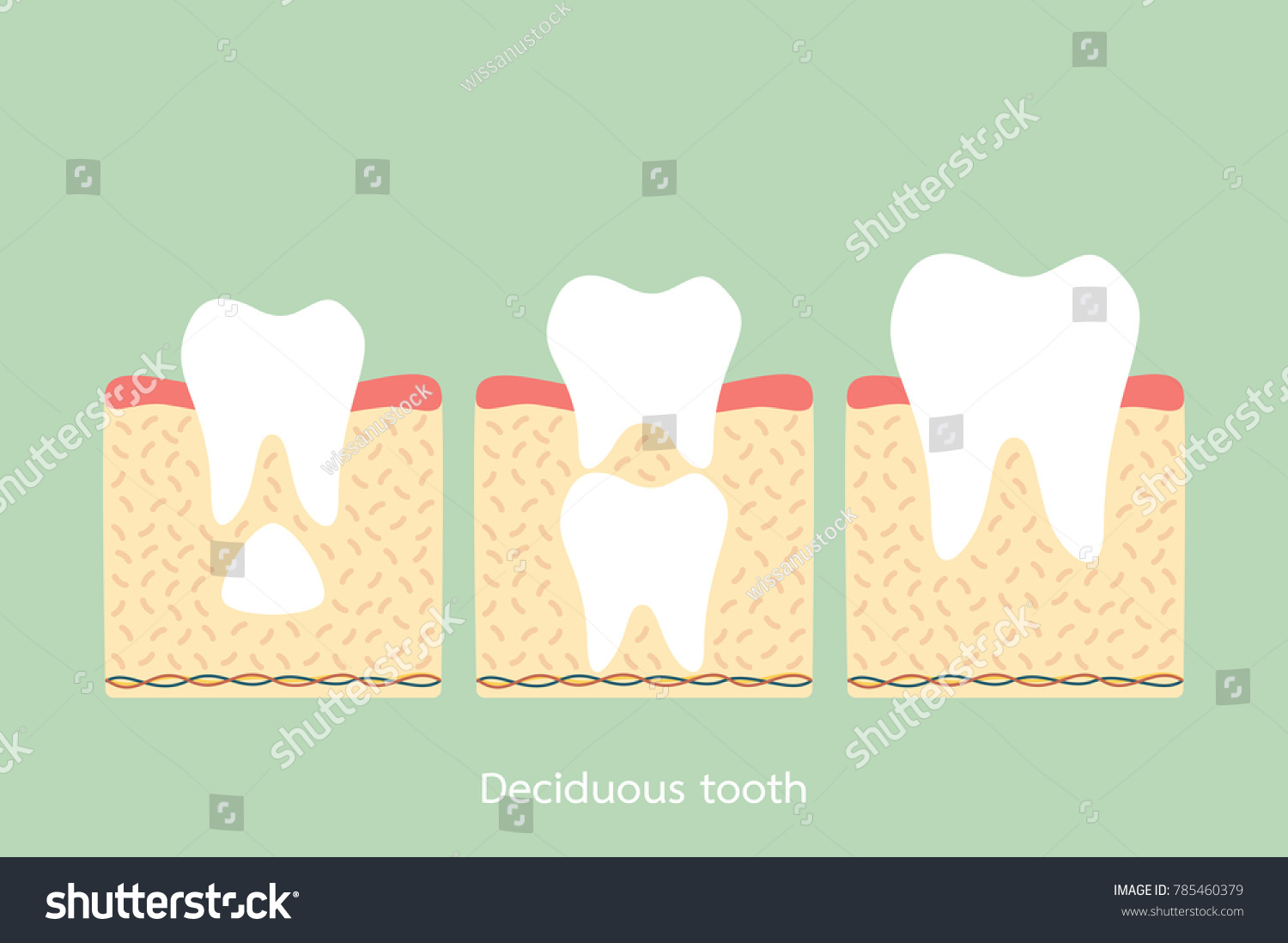 Permanent Tooth Located Below Primary Tooth Stock Vector Royalty
