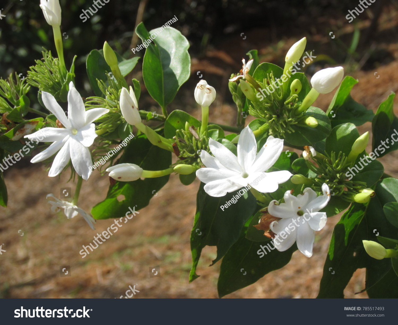 Jasminum multiflorum star jasmine effect ornamental stock photo jasminum multiflorum the star jasmine effect ornamental plantneral characteristics of hardwood vine izmirmasajfo